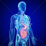 stock-photo-21657334-human-small-intestine-and-stomach-anatomy