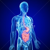 stock-photo-21657334-human-small-intestine-and-stomach-anatomy